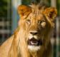 leeuw fod